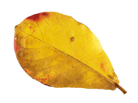 tropical tree: Leaves change color in the rainy season