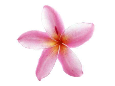 plumeria on a white background: plumeria Flowers isolated on white background, frangipani colorful tropical flowers bloom summer For home decorating or Asian-style spa