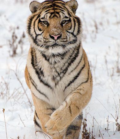 Pouncing Tiger Banque d'images