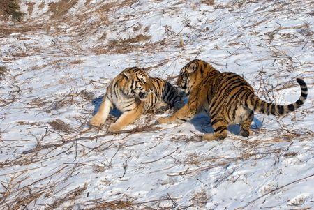 Deux jeunes de lutte contre les Tigres