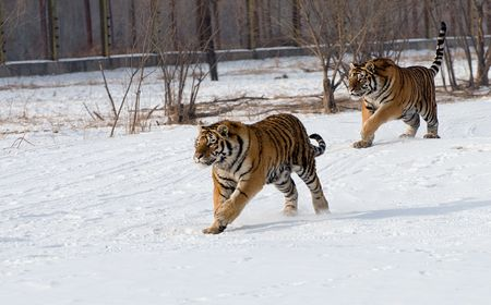 Synchronised Running Tigers Stock Photo