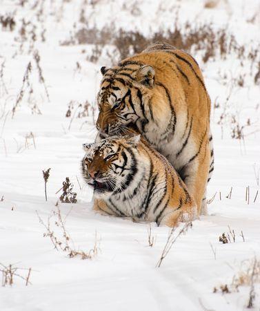 mating: Mating Siberian Tigers Stock Photo