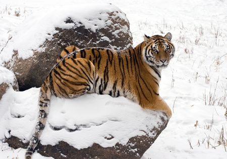 Tiger On Snow Covered Rock