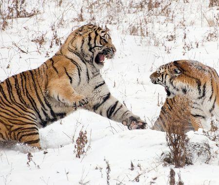 siberian tiger: Fighting Siberian Tigers Stock Photo