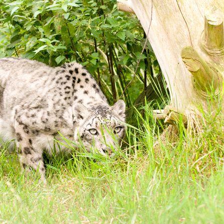 peering: Peering snow leopard Stock Photo