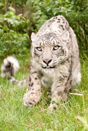 prowling: Prowling Snow Leopard