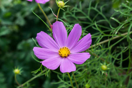 Coreopsis flower in the garden in Poland on the summer.