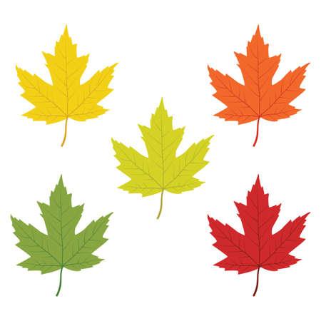 red orange green yellow maple leaf changing color step vector design illustration