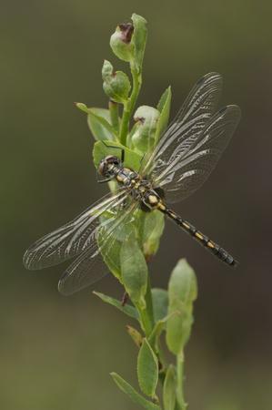 Eine weibliche Schwarz Darter Darner Libelle Standard-Bild - 14293334