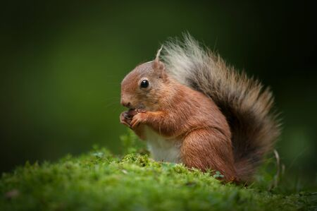 A Red Squirrel sitting on the mossy floor of a Cumbrian wood, eating a hazel nut Stock Photo - 18162426