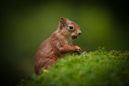 A juvenille Red Squirrel that is just begining to fend for itself, and has a whole hazelnut in its mouth At this young age they lack the ear tufts of their parents Stock Photo - 18162425