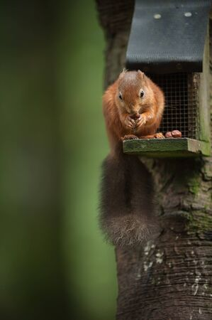 This Red Squirrel is being a theif and raiding hazel nuts from a small bird feeder  photo
