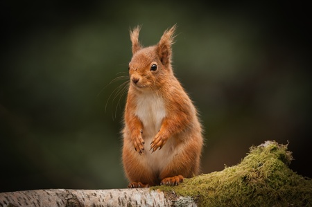 A Red Squirrel standing on a fallen birch log in the English Lake District. photo