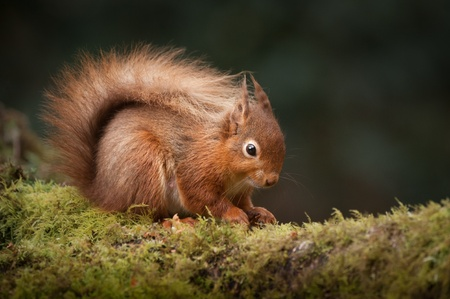 A Red Squirrel foraging for food on a moss covered  fallen birch log in the English Lake District. photo