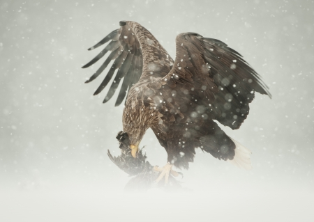 sub zero: A female White-tailed Eagle feeding on a Ptarmigan in heavy blizzard conditions. Stock Photo