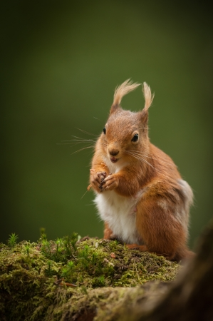 A Red Squirrel foraging for nuts on a moss covered  fallen birch log in the English Lake District.