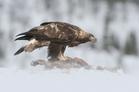 bird eating raptors: A young Golden Eagle feeding on the carcass of a Red Fox in the depths of winter. Stock Photo