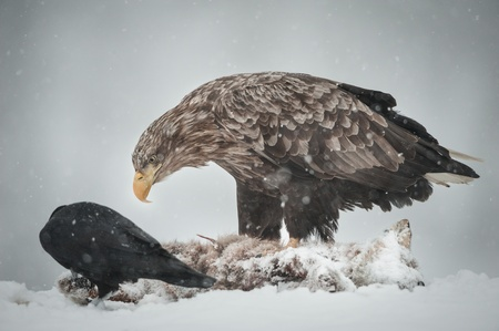 A White-tailed Eagle allows a Raven to take a few morsels from the corpse of a Red Fox it is scavenging from. photo
