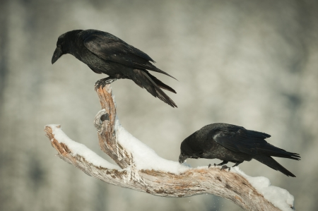 A pair of Common Ravens perched on a snow covered branch of a dead pine tree. One is looking down watching an eagle feeding, the other is cleaning its beak in snow.