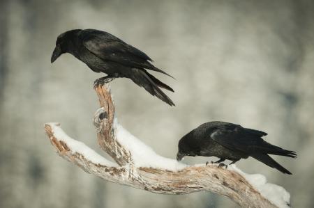 corbeau: Une paire de Corbeau, perch� sur une branche couverte de neige d'un pin mort. Une baisse les yeux en regardant une alimentation aigle, l'autre est le nettoyage de son bec dans la neige.