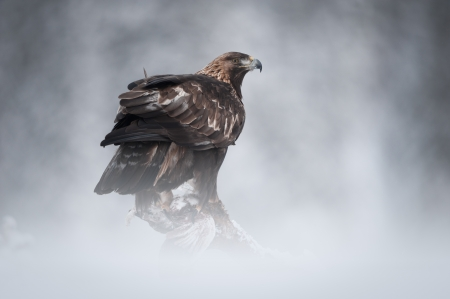 sub zero: A female Golden Eagle in the wilderness of the Norwegian mountain winter.  Perched on a fallen pine, she is about to feed on her Ptarmigan prey.