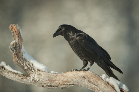 A Common Raven perched on a snow covered branch of a dead pine tree. The Raven is observing a feeding eagle on the ground below, waiting for an opportunity to swoop down and steal some food.