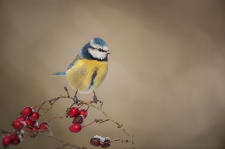 A Blue Tit in winter; perched on a hawthorn branch with red berries covered in a light dusting of snow.