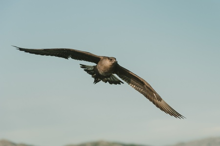 Arctic Skua in flight. This bird is a pirate, waiting for Terns and Puffins to catch food and then mugging them for it. An extremely fast and highly agile bird and very difficult to photograph. Stock Photo - 18162428