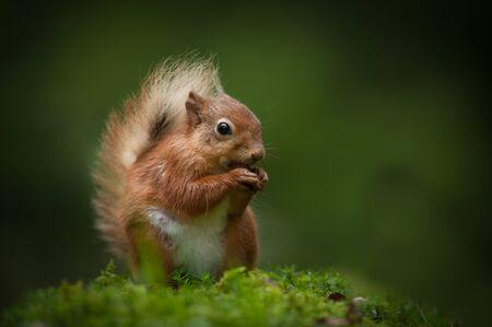 Cumbrian 나무의 얼룩 된 빛에 앉아있는 동안 헤 즐 넛을 먹는 여성 레드 다람쥐.