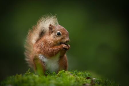 A female Red Squirrel eating a hazelnut while sitting in the dappled light of a Cumbrian wood.