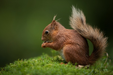 A Red Squirrel in typical pose, on the ground eating, with its tail curled over its back. Stock Photo - 18162236
