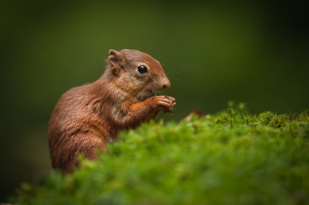 A juvenile Red Squirrel that is just begining to fend for itself. At this young age they lack the ear tufts of their parents. Stock Photo - 18162223