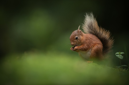 A female Red Squirrel eating a hazelnut, sitting on the floor of a Cumbrian wood. Stock Photo - 18162205