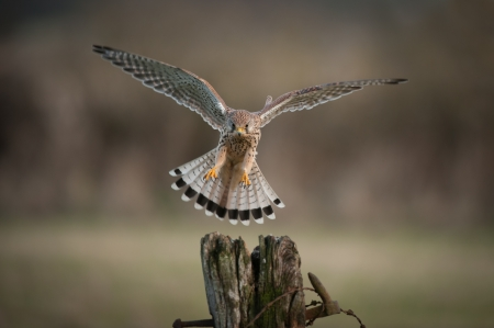 chosen: A female Kestrel about to land. Her eyes are fixed upon her chosen landing point.