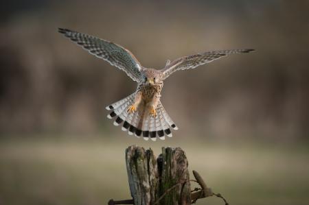 Una femmina Kestrel per terra. I suoi occhi sono fissi su di lei il punto di atterraggio prescelto. Archivio Fotografico - 18162209