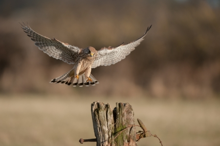 flying falcon: A female Kestrel about to land. Her eyes are fixed upon her chosen landing point.