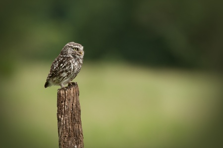 An adult Little Owl (Athene noctua). Sitting perched on an old fence post looking right.