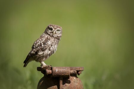 athene: Little Owl (Athene noctua).A juvenille Little Owl perched on an old cast iron pipe and looking at the camera.