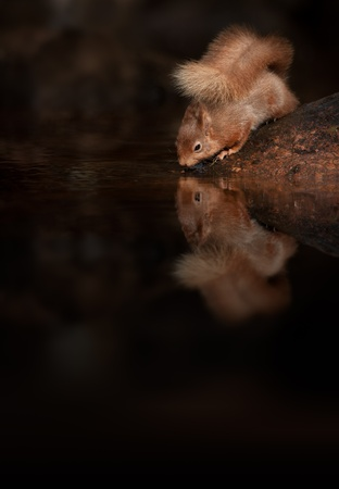 beautiful woodland: Red Squirrel (Sciurus vulgaris).  A Red Squirrel drinking from a Lake District stream showing its full reflection in the water.  Editorial composition with room for text.