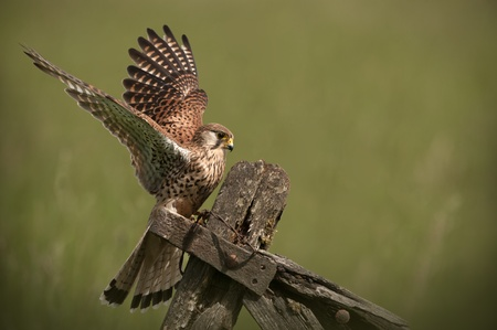 common room: A female Common Kestrel.Coming in to land on an old wooden gate.