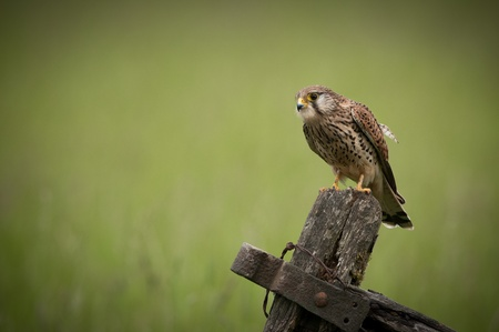 A female Common Kestrel (Falco tinnunculus). She is perched on an old wooden field gate, looking for prey. photo