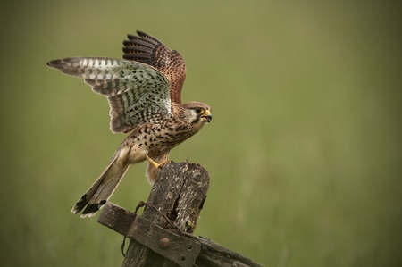 landed: Kestrel landing on an old wooden gate.A female Common Kestrel (Falco tinnunculus) has just landed on an old wooden farm gate. Stock Photo