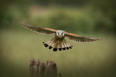 flapping: Common Kestrel (Falco tinnunculus).The male bird with his grey head on his final approach to his chosen perch, the post in the foreground. Stock Photo