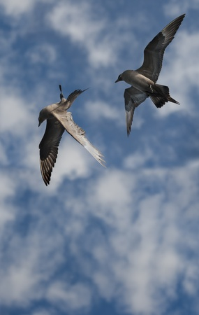 unsuspecting: Looking straight up into a perfect sky at a pair of Arctic Skuas as they turn to give chase to another poor unsuspecting victim. Stock Photo