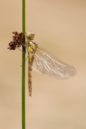 emerged: A freshly emerged Dragonfly