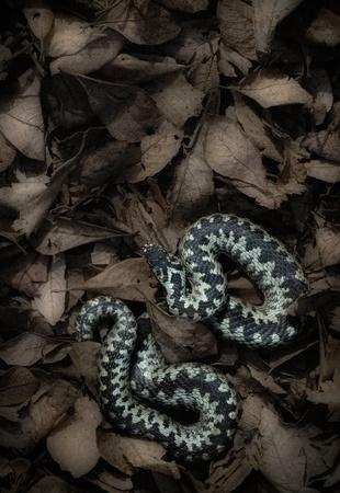 dead leaves: Una luz de color Adder europeo masculino. La serpiente est� tomando el sol en una cama de hojas muertas.