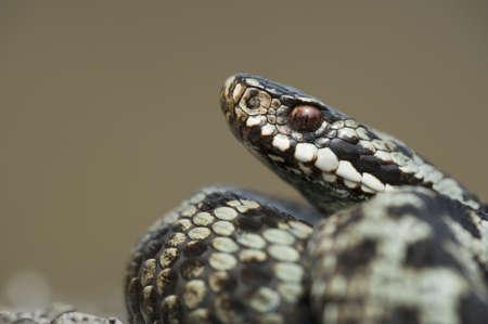 defensive posture: Una serpiente europea (Vipera berus) en una postura defensiva. Foto de archivo