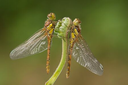 entomological: Two freshly emerged dragonflies.These two Common Darters have climbed the same bracken stem to emerge.