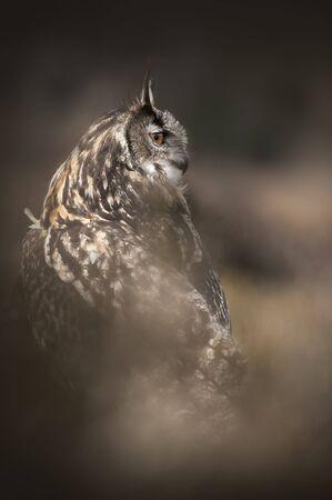 a large bird of prey: Un europeo o Eurasian Gufo fotografati su terreno aperto vicino Charnwood Forrest, il pi� grande gufo che si verificano in Gran Bretagna, sia come migrante o fuggiti Falconieri uccelli, questi uccelli sono incredibilmente potenti cacciatori molto capaci - una vera forza della natura e Archivio Fotografico