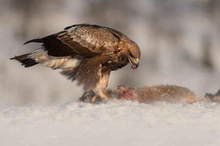 A juvenile Golden Eagle feeding on a Red Fox high in the mountains of central Norway. The image was taken just after sun rise, giving a warmth to the light illuminating the subject.  photo